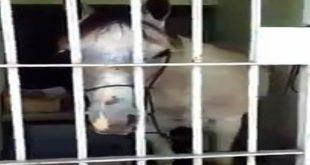 O cavalo ficou preso por 18 horas na cadeia da cidade de Aparecida