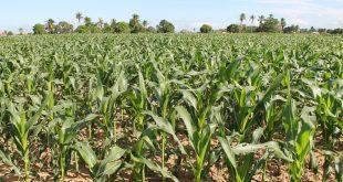 Cohidro espera colher 1 milhão de espigas de milho