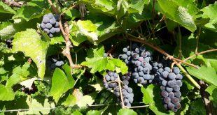 Sergipe tem potencial para produção de uvas viníferas