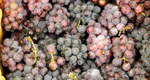 Canindé passa a produzir uva e pera a partir de parceria entre Embrapa Petrolina e Cohidro