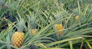 Agricultores familiares de abacaxi terão direito a bônus do PGPAF