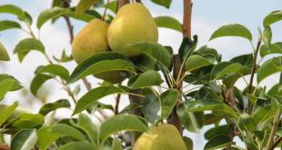 Peras cultivadas com irrigação em Canindé chegam a pesar mais de meio quilo