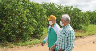 Platô de Neópolis exporta limão Taiti irrigado para o mercado europeu