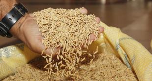 Arroz: Previsão de aumento da safra em 30,1% anima produtores beneficiados com entrega de sementes